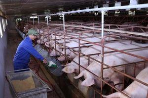Điều kiện tái đàn heo: Liên kết chuỗi và chăn nuôi an toàn sinh học