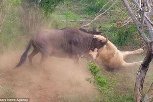 Linh dương đầu bò thoát thân ngoạn mục khỏi sư tử
