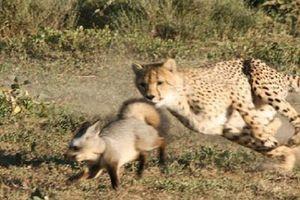Cáo thảo nguyên một mình chống lại hai con báo cheetah