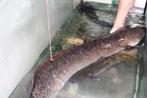 Bắt được cá lệch nặng 16kg trên sông Lam ở Nghệ An