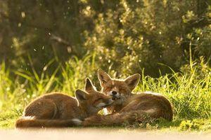 Ngưỡng mộ tình yêu đích thực của loài cáo đỏ hoang dã