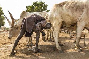 Bộ tộc gội đầu bằng nước tiểu bò, dùng phân làm thuốc