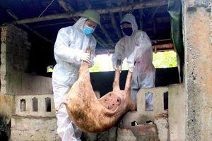 Nghệ An: Địa phương thứ 3 ở Quỳ Hợp xuất hiện dịch tả lợn châu Phi
