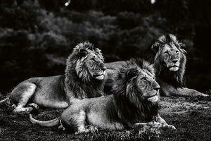 Vua sư tử uy nghiêm trong bộ ảnh đen trắng tuyệt đẹp