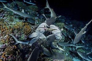 Kinh hãi cảnh 700 con cá mập xé xác đàn cá mú nghìn con trong mùa đẻ trứng