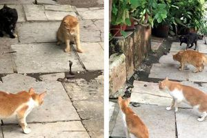 Xem bốn mèo nhà hợp sức 'dằn mặt' rắn hổ mang