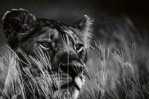 Bộ ảnh đen trắng hiếm có về loài sư tử châu Phi của nhiếp ảnh gia Pháp