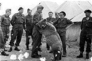 Chú gấu được phong hàm hạ sĩ, thích uống bia, biết khuân vác vũ khí