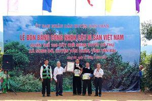 Chè Shan tuyết Giàng Pằng được công nhận Cây Di sản Việt Nam