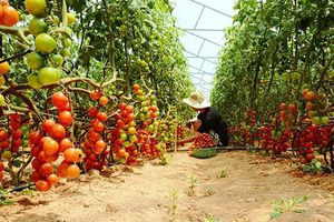Phương pháp phòng trị bệnh lở cổ rễ ở cây cà chua