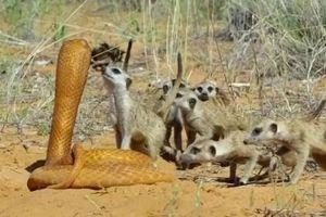 Đàn cầy vằn hợp sức bao vây robot rắn hổ mang