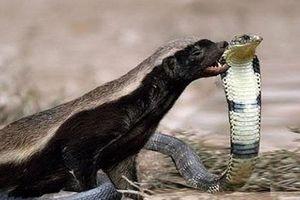 Loài động vật hiếm hoi bị rắn độc cắn không chết