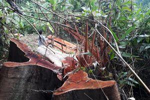 Hàng loạt cây cổ thụ ở rừng Quảng Nam bị lâm tặc chặt hạ
