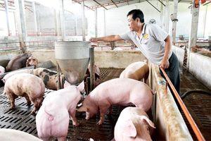 Thủ phủ chăn nuôi vẫn chưa dám tái đàn