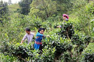 Hà Giang bảo tồn, nâng cao giá trị cây chè shan tuyết