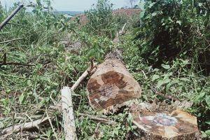 Đắk Nông: Rừng thông dọc Quốc lộ liên tục bị đầu độc
