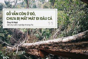 Bị đục thân, đổ dầu đốt gốc 2 cây gỗ hương cổ thụ chết, chủ rừng nói không thiệt hại vì 'gỗ vẫn còn ở đó'