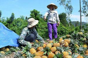 Phân bón Văn Điển giúp nông dân nâng lãi hàng chục triệu đồng mỗi hecta canh tác dứa