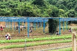 Trồng rau, nuôi lợn cải thiện bữa ăn cho học sinh miền núi Quảng Nam
