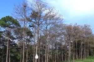 Clip: Hàng trăm cây thông ở Đắk Nông bị đầu độc bằng hóa chất