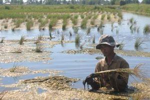 Xâm nhập mặn sẽ ảnh hưởng đến 100.000ha lúa vụ Đông Xuân 2019 - 2020