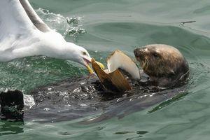 Rái cá săn mồi 'to bự', mòng biển tranh cướp rồi bẽ bàng...
