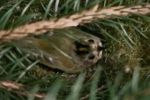 Cuộc chiến sinh tồn: Bí mật của loài chim ấp trứng bằng đôi chân