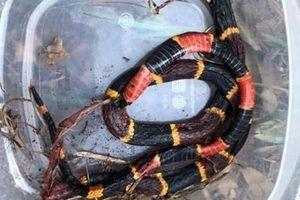 Chú chó pitbull xả thân bảo vệ chủ khỏi rắn san hô