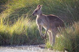 Australia cho phép săn bắn chuột túi làm thức ăn cho vật nuôi