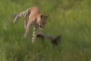 Bị con mồi liều mạng tấn công, báo hoa mai cong đuôi bỏ chạy