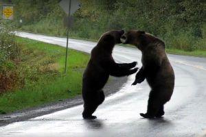 Cặp gấu hồn nhiên 'đại chiến' giữa cao tốc