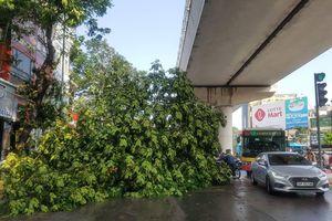 2 cây phượng lớn bên cạnh Học viện Báo chí và Tuyên truyền bất ngờ gãy đổ