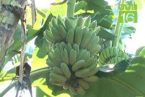 Hải Dương: Hiệu quả từ mô hình trồng chuối tây Thái Lan