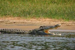 Cá sấu mai phục, bất ngờ tóm gọn linh dương đầu bò