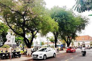 Những cây me già ở Nha Trang
