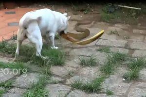 CLIP: Chó nhà đại chiến rắn hổ