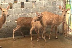 Ninh Bình: Kiếm 700 triệu đồng/năm nhờ nuôi hươu sao lấy nhung