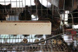 Singapore tạm dừng nhập khẩu trứng chim cút của Malaysia