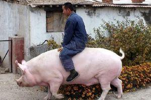 Khan hiếm thịt, nông dân Trung Quốc nuôi lợn khổng lồ nặng tới 750kg