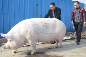 Trung Quốc khuyến khích nuôi lợn khổng lồ để giải quyết vấn nạn thiếu thịt