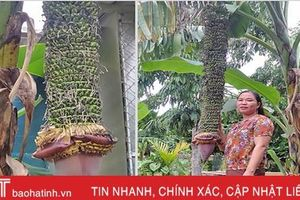 Buồng chuối trổ gần 350 nải chưa từng thấy ở huyện Hương Sơn