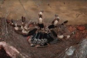 Kinh hoàng cảnh tượng nhện Tarantula lột xác
