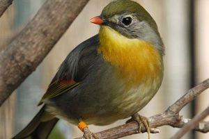 Thú vị chim kim oanh mỏ đỏ siêu đẹp ở Lào Cai
