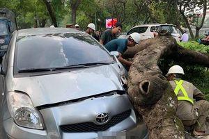 Cây phượng trên đường Thanh Niên đổ đè trúng xe ô tô đang lưu thông