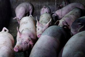 Long An: Tiêu hủy gần 50.000 con lợn nhiễm dịch
