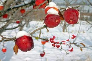 'Đột nhập' trang trại trồng táo mật đắt nhất thế giới, 1 cành chỉ có 1 quả