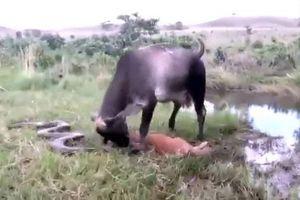 Bò mẹ điên cuồng tấn công trăn anaconda để trả thù cho con