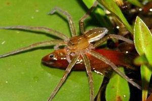 Những sự thật ít biết về loài nhện khổng lồ biết bơi, giỏi săn cá