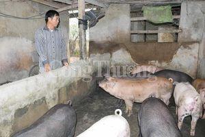 Nghệ An: Giá thịt lợn hơi tăng cao, chạm mốc 60.000 đồng/kg