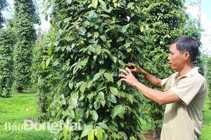 Huyện Thống Nhất: Nhiều chuỗi liên kết sản xuất và tiêu thụ sản phẩm hiệu quả